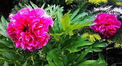 Pünkösdi bazsarózsa (Ják) (milankalman) Tags: flower peony pink plant spring nature garden
