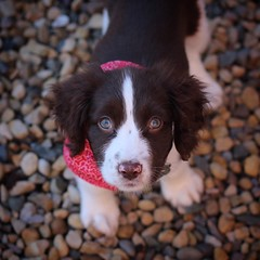 It's a pups life (karl2077) Tags: eos1300d canonphotography dog springerspanielpuppy puppy springerspaniel springer