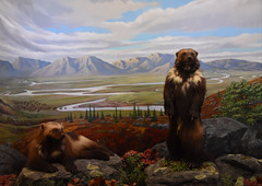 Wolverines (Adventurer Dustin Holmes) Tags: 2018 wondersofwildlife museum mural taxidermy animals stuffed