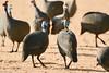 Helmeted Guinea Fowl (Abspires40) Tags: krugerpark krugernationalpark kruger krugerbirds wildlife gameparks africa africanwildlife birds birdsofkruger guineafowl helmetedguineafowl africanbirds birdsofthekruger bird