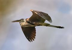 05-23-18-0019256 1 (Lake Worth) Tags: animal animals bird birds birdwatcher everglades southflorida feathers florida nature outdoor outdoors waterbirds wetlands wildlife wings