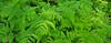 - oak fern - (Jac Hardyy) Tags: oak fern common nothern western green leaf leaves farn farnwedel farnblätter blätter blatt grün eichenfarn gymnocarpium dryopteris frond