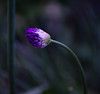 Bowing to the Straight (Laura Drury) Tags: alium flower bulb spring bowed purple growth garden bokeh