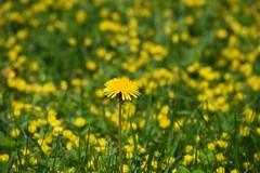 spring dandelion (ladybugdiscovery) Tags: dandelion yellow wildflower weed spring