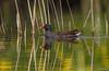 Waterhoen - Moorhen - Gallinula chloropus-1898 (Theo Locher) Tags: birds vogels vögel oiseaux belgie belgium copyrighttheolocher moorhen waterhoen teichhuhn gallinulepouledeau gallinulachloropus