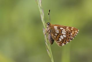 Duke of Burgundy (Hamearis lucina).