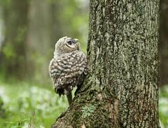 """Making the journey"" (bearbear leggo) Tags: survival barred climb amazing wildlife nature photography ontario birder juvenile baby brave"