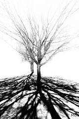 Spreading (mathieuo1) Tags: chicago tree nature dlsr america bnw blackandwhite black shape shadow sharp contrast highkey sun light illumination assassin hard harsh nikon wideangle composition lines shapes form work details grow spreading rules discover park lincoln art fineart illustration illinois branch mathieuo