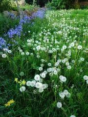 (Simply Sharon !) Tags: dandelionclocks dandelions taraxacumofficinale bluebells flowers springflowers wildflowers nature may wildprimrose
