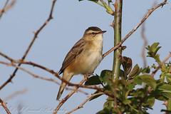 Sedge Warbler (Dougie Edmond) Tags: monkton scotland unitedkingdom gb bird birds nature wildlife warbler summer visitor migrant