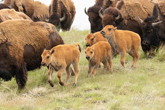 Bison calves running with the herd
