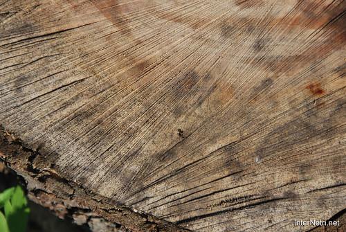 Зріз дерева InterNetri 1