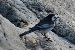 Pied Wagtail (philk_56) Tags: jersey channel islands bird sthelier pied wagtail rocks shore