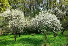 Touch of Spring 11 (rimasjank) Tags: blossom cherry tree garden vilnius