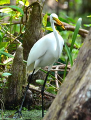 White Heron in Swamp (npbiffar) Tags: swamp tree leaves grass bird heron forest wood npbiffar 70300mm d7100 nikon nature coth5