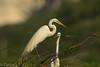 Garza Blanca o Garceta grande / great egret (Ardea alba) (Gogolac) Tags: 2018 aves bird birdphotography birdie birds canon7dmii fauna lagoenriquillo location primavera season year birdspot birdingrd birdsspotters republicadominicana