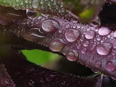 Raindrops (Lesley A Butler) Tags: victoria nature garden foliage closeups australia alphington yarra