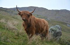 Scottish Coo. (Davie Main) Tags: scottishcow scottishcoo highlandcattle highlandcow bòghàidhealach heilancoo glendessarry scottishhighlands scotland
