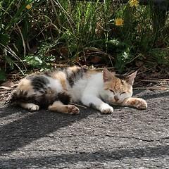 #cat #catnap #猫 甲府市塚原の道路脇で #お昼寝 日が射すと、もう暑い (torinukeki) Tags: instagram ifttt