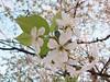 WP_20180414_07_56_37_Raw__highres (vale 83) Tags: blossom microsoft lumia 550 friends coloursplosion colourartaward