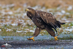 Quick March! (Mr F1) Tags: wild whitetailedeagle joihnfanning quickmarch nature wte raptor birdsofprey bop outdoors europe poland woodland forest cold ice snow walking fast talons feathers detail closeup beak eyes wildlife bird large barndoor eagles