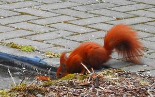 Eichhörnchen trinkt am Gartenteich