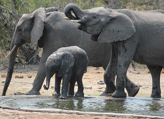 Elephants having fun at a waterhole in the Kruger National Park