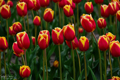 Skagit Valley Tulip Festival (Roozengaarde) (SonjaPetersonPh♡tography) Tags: laconner mountvernon landscapes plants flowers mtvernon skagitvalley skagitvalleytulipsfestival skagitcounty skagitvalleytulipfestival roozengaarde roozengaardeskagitvalleytulipfestival washington washingtonstate washingtonmountvernon stateofwashington tulips tulip tulipfestival tulipfields festival
