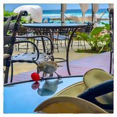 Maraschino (Timothy Valentine) Tags: 2018 0418 cherry bird vacation ourhotel red bridgetown saintmichael barbados bb