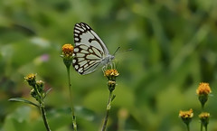 african white butterfly meadow (Phil Gate Keeper) Tags: nairobi kenya meadow butterfly