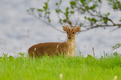 Muntjac (1 of 3) - Taken at Titchmarsh Nature Reserve, Aldwincle, Northants. UK (Ian J Hicks) Tags: