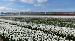 Foto Roel van Deursen Bollenpracht Goeree Overflakkee - Oude Tonge 2018-04-23 (7) (Roel van Deursen) Tags: tulpen vol bloei op goereeoverflakkee 2018