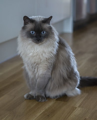This eyes! (My Photolifestyle) Tags: birma cats