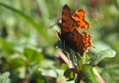 comma (Johnson Cameraface) Tags: 2018 april spring olympus omde1 em1 micro43 mzuiko 60mm macro f28 johnsoncameraface commabutterfly comma butterfly insect polygoniacalbum