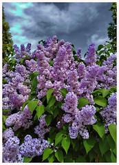 The Lilac Overdose (kurtwolf303) Tags: lilac flieder plant pflanze blossoms blüten sky himmel natur nature huawei blooming strauch bush flora garden schön beautiful clouds wolken kurtwolf303