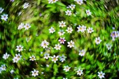 DSC03449 (Keishi Etoh rough-and-ready photoglaph) Tags: sony a7ⅱ sonya7ⅱ 35mmfullframe ilce7m2 sonyilce7m2 flower thenewpetzval58bokehcontrolartlens11958mm petzval 58mm mf manualfocuslens primelens fixedfocallengthlens nf nikonf 単焦点 標準 zenit