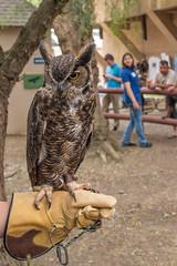 Forrest the Great Horned Owl (Sam Schmidt) Tags: forrest greathornedowl ucdavis californiaraptorcenter davis california owl raptor bird glove