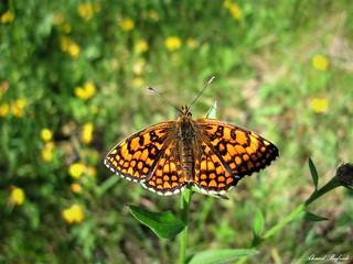 Butterfly 1655