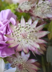 Beautiful details (Heathermary44) Tags: macro closeup flower stamens details blooming bouquet astrantia