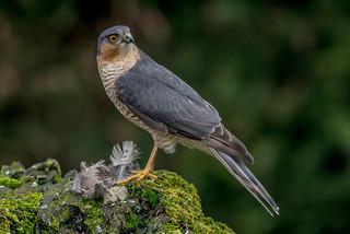 DSC6745  Sparrowhawk..