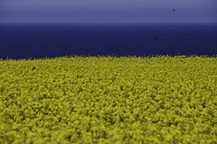 Yellow and Blue (OgniP) Tags: sea sky field rapeseed yellow wicklow ireland greystones blue