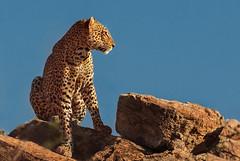 Patient Observer (Ania Tuzel Photography) Tags: leopard kenya sunlight wildlife f200400mmf4l rocks murati sunset samburu