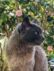 My Majestic Floof (BeccaG) Tags: burmese hoshicat cat floof