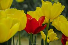 Tulipani (tosco974) Tags: fotografia photografy photo foto yellow red giallo rosso olanda natura rome itaty italia roma fiori tulipani