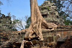 Ta Prohm, Tree growing among ancient stones (JLS@Photos) Tags: cambodge templekhmer monument manualgeotag angkor edificereligieux asie asia cambodia hindouistepuisbouddhiste religiousbuilding