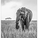 Elephant in the Rain