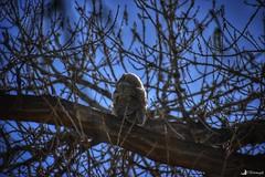 Fledgling Great Horned Owl (CTfotomagik) Tags: tree bird greathornedowl raptor wildlife nature fledgling explore windsor colorado forest sky animal
