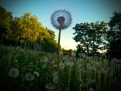 08.05.2018 Pusteblumen (FotoTrenz NRW) Tags: löwenzahn pusteblumen dandelions nature outdoor wiese grün kontrast abendstimmung moody moodypics green frühling spring duisburg