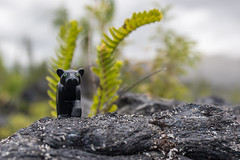 Black Panther (Ballou34) Tags: 2017 7dmark2 7dmarkii 7d2 7dii afol ballou34 canon canon7dmarkii canon7dii eos eos7dmarkii eos7d2 eos7dii flickr lego legographer legography minifigures photography stuckinplastic toy toyphotography toys 7d mark 2 ii eos7d stuck plastic in black panther animal rock sainterose saintbenoît réunion re