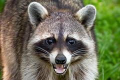 130A9163 (Ricky Floyd) Tags: raccoon canon